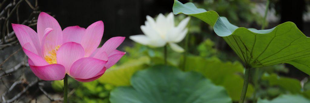 ハスの花の画像